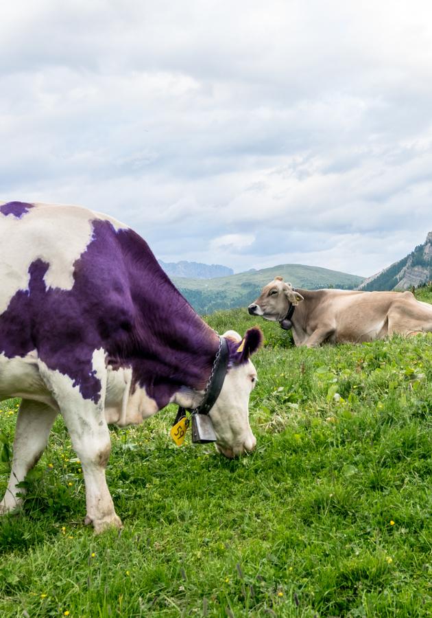 La vaca púrpura Resumen